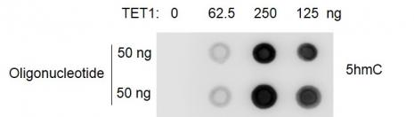 Recombinant TET1 protein activity assay.