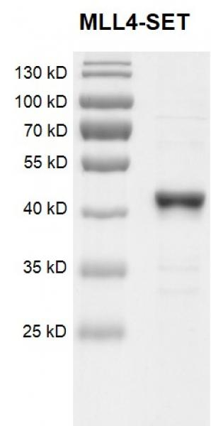 Recombinant KMT2B (MLL4)-SET Coomassie gel