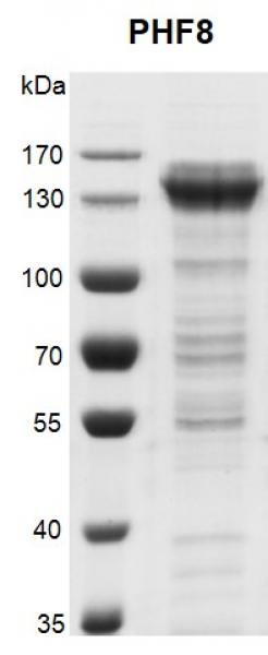 Recombinant PHF8 protein gel.