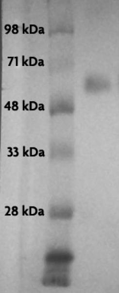 Recombinant p53 protein tested by Western blot.