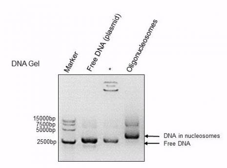 Recombinant Polynucleosomes (H3.3) - DNA Gel-shift assay