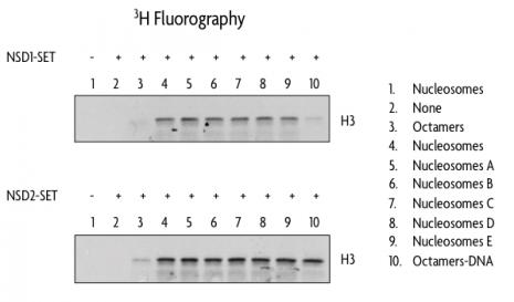 Histone methyltransferase activity assay comparing recombinant polynucleosomes and histone octamers as substrates.