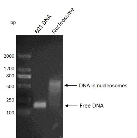 Recombinant Mononucleosomes (H3.1) - biotinylated DNA gel