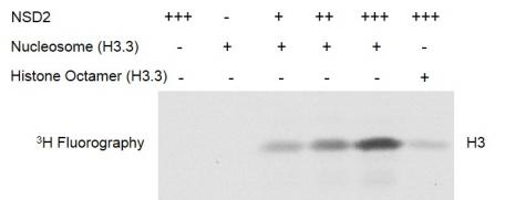 Recombinant Polynucleosomes (H3.3) HMT activity assay