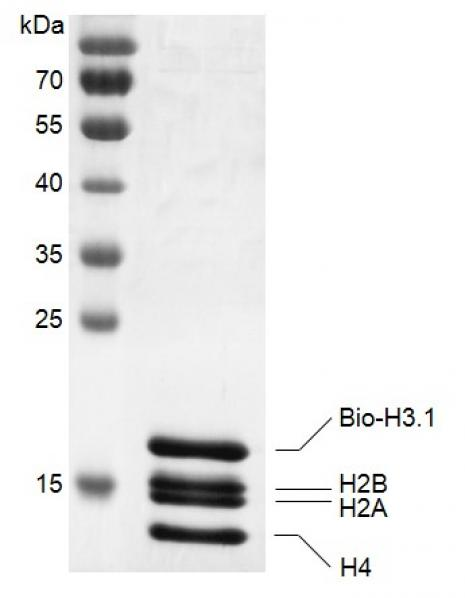 Recombinant Histone Octamer (H3.1) - biotinylated, SDS-PAGE gel.