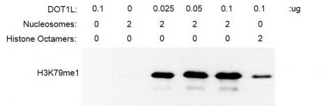 Recombinant DOT1L (1-416) protein activity assay.