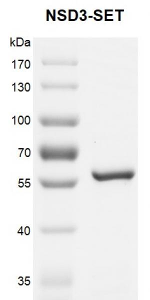 Recombinant NSD3 (WHSC1L1) protein gel.