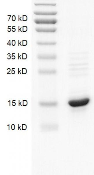 Histone H2A protein Coomassie gel