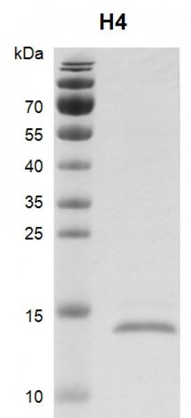 Recombinant Histone H4, His-Tag Coomassie gel