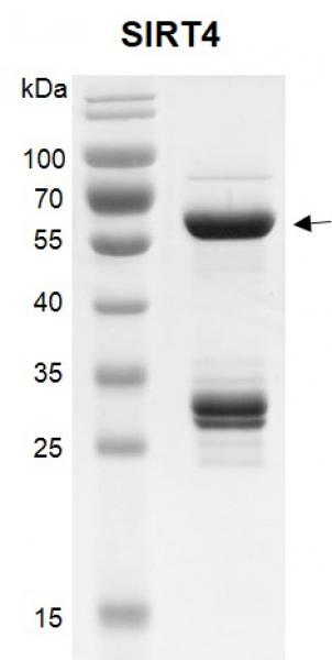 Recombinant SIRT4 (25-314) SDS-PAGE gel.