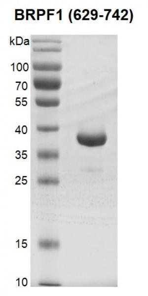 Recombinant BRPF1 (629-742), GST-Tag gel.