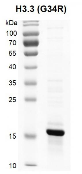 Recombinant Histone H3.3 (G34R) protein SDS-PAGE gel.