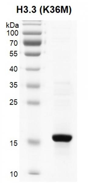 Recombinant Histone H3.3 (K27M) protein SDS-PAGE gel.