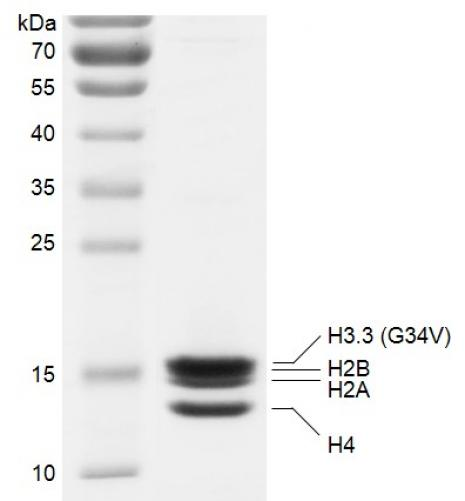 Recombinant Polynucleosomes H3.3 (G34V) protein gel.