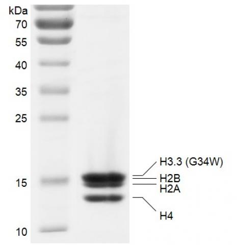 Recombinant Polynucleosomes H3.3 (G34W) protein gel.