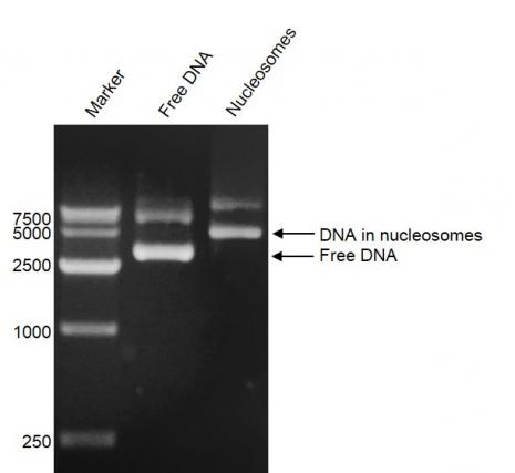 DNA Gel-shift assay for Recombinant Polynucleosomes H3.3 (G34W).