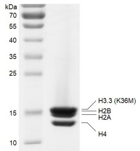 Recombinant Polynucleosomes H3.3 (K36M) protein gel.