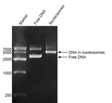 DNA Gel-shift assay for Recombinant Polynucleosomes H3.3 (K36M).