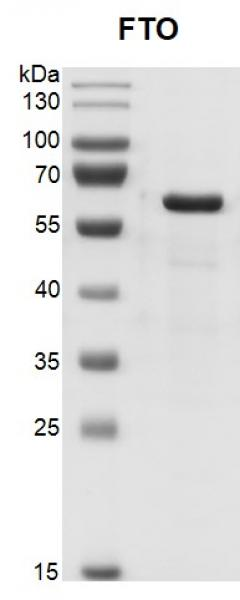 Recombinant FTO protein, SDS-PAGE gel.