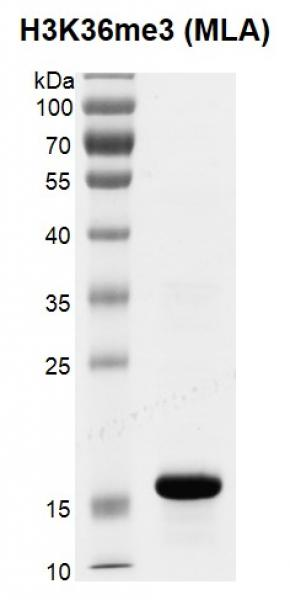 Recombinant Histone H3K36me3 (MLA) gel.