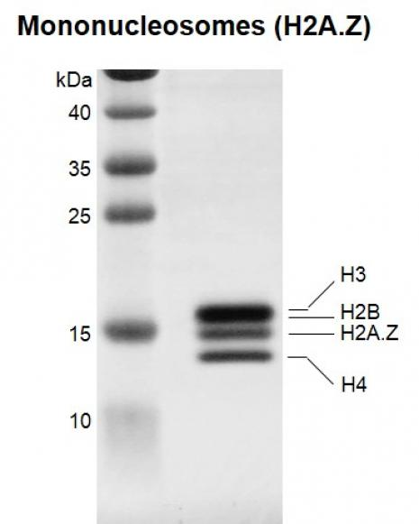 Recombinant Mononucleosomes (H2A.Z) - biotinylated, SDS-PAGE.