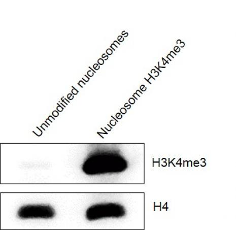 Western Blot analysis for Mononucleosomes H3K4me3 (EPL) - biotinylated.