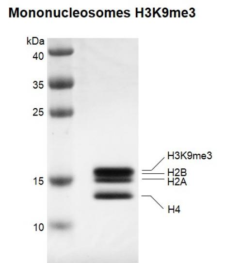 Recombinant Mononucleosomes H3K9me3 (EPL) protein gel.