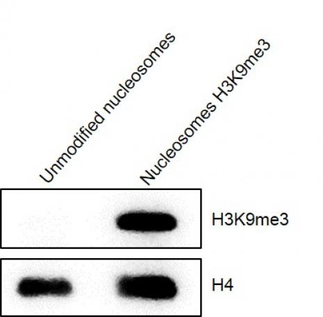 Western Blot analysis of Recombinant Mononucleosomes H3K9me3 (EPL)
