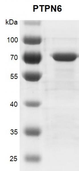 Recombinant PTPN6 protein gel.
