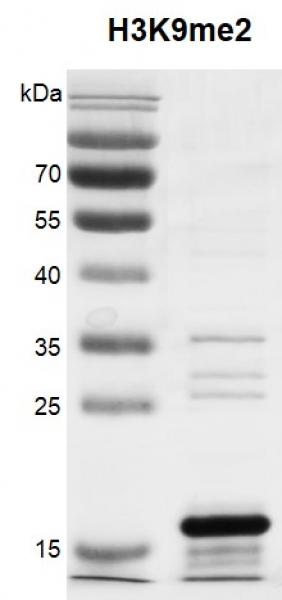 Recombinant Histone H3K9me2 (MLA) protein gel.