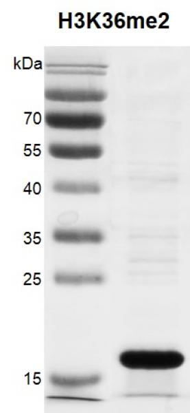 Recombinant Histone H3K36me2 (MLA) protein gel.