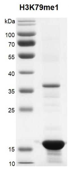 Recombinant Histone H3K79me1 (MLA) protein gel.