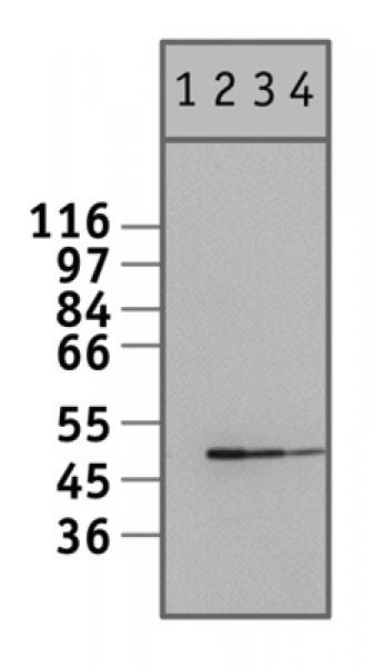 NFκB p50 antibody (pAb) tested by Western blot.