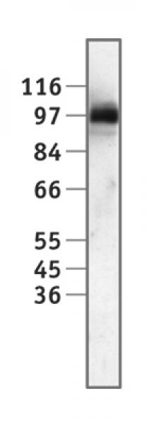 Sp1 antibody (pAb) tested by Western blot.