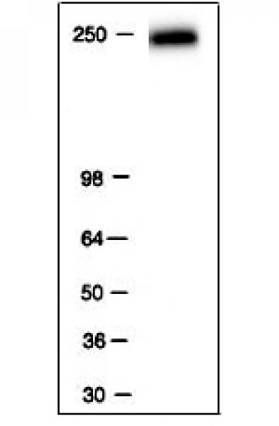 RNA pol II antibody (mAb) tested by Western blot.