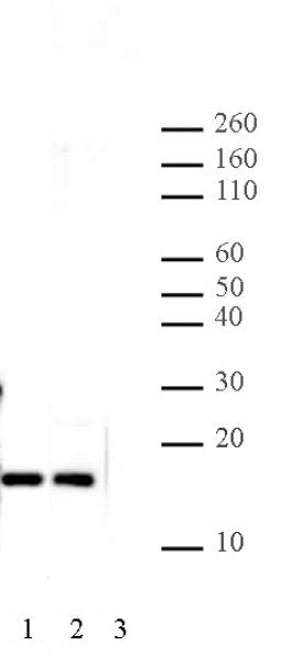 Histone H2A.Z antibody (pAb) tested by Western blot.