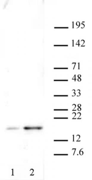 Histone H2A.XS139ph antibody (pAb) tested by Western blot.