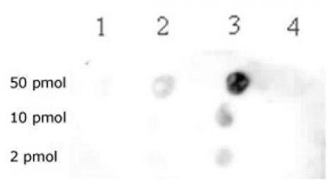 Histone H3K79me2 antibody (pAb) tested by dot blot analysis.