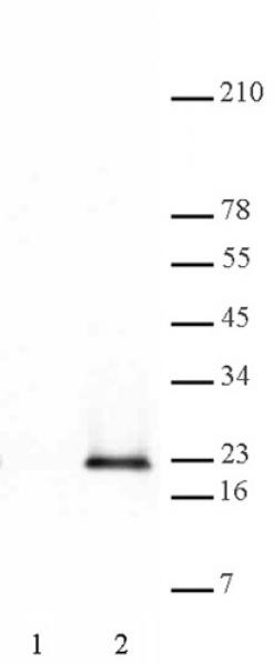 Histone H3S28ph antibody (pAb) tested by Western blot.