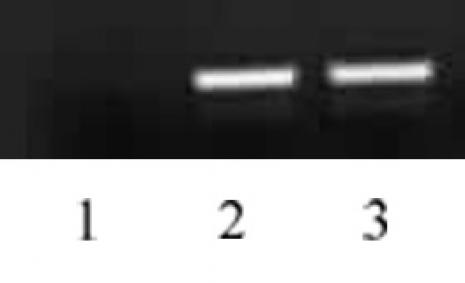 Histone H4K5ac antibody (pAb) tested by ChIP.