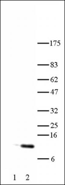 Histone H4K5ac antibody (pAb) tested by Western blot.