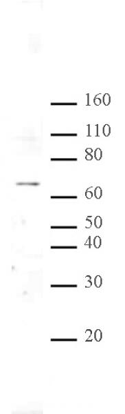 MeCP2 antibody (pAb) tested by Western blot.