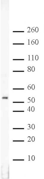 RbAp46/48 antibody (pAb) tested by Western blot.
