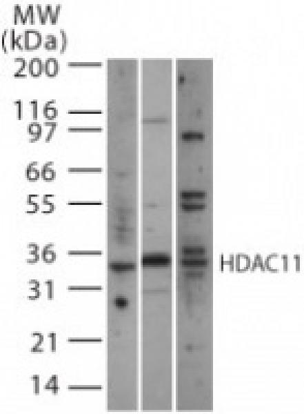 HDAC11 antibody (pAb) tested by Western blot.