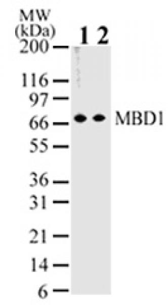 MBD1 antibody (mAb) tested by Western blot.