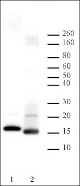Histone H2B antibody (pAb) tested by Western blot.
