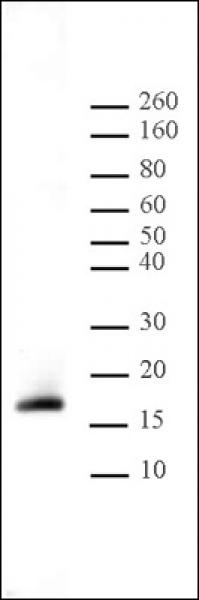 Histone H3K9me2 antibody (pAb) tested by Western blot.