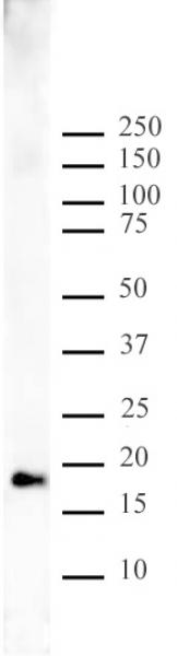 Histone H3K9me1 antibody (pAb) tested by Western blot.
