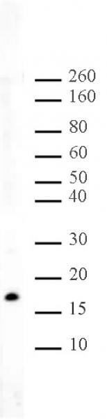 Histone H3K56me2 antibody (pAb) tested by Western blot.