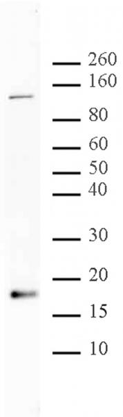 Histone H3K56ac antibody (pAb) tested by Western blot.